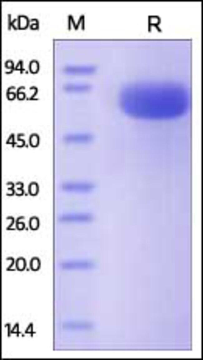 ACROBiosystemsHuman CD200 / OX-2 Protein, Fc Tag 1 mg ACROBiosystemsHuman CD200 / OX-2 Protein, Fc Tag