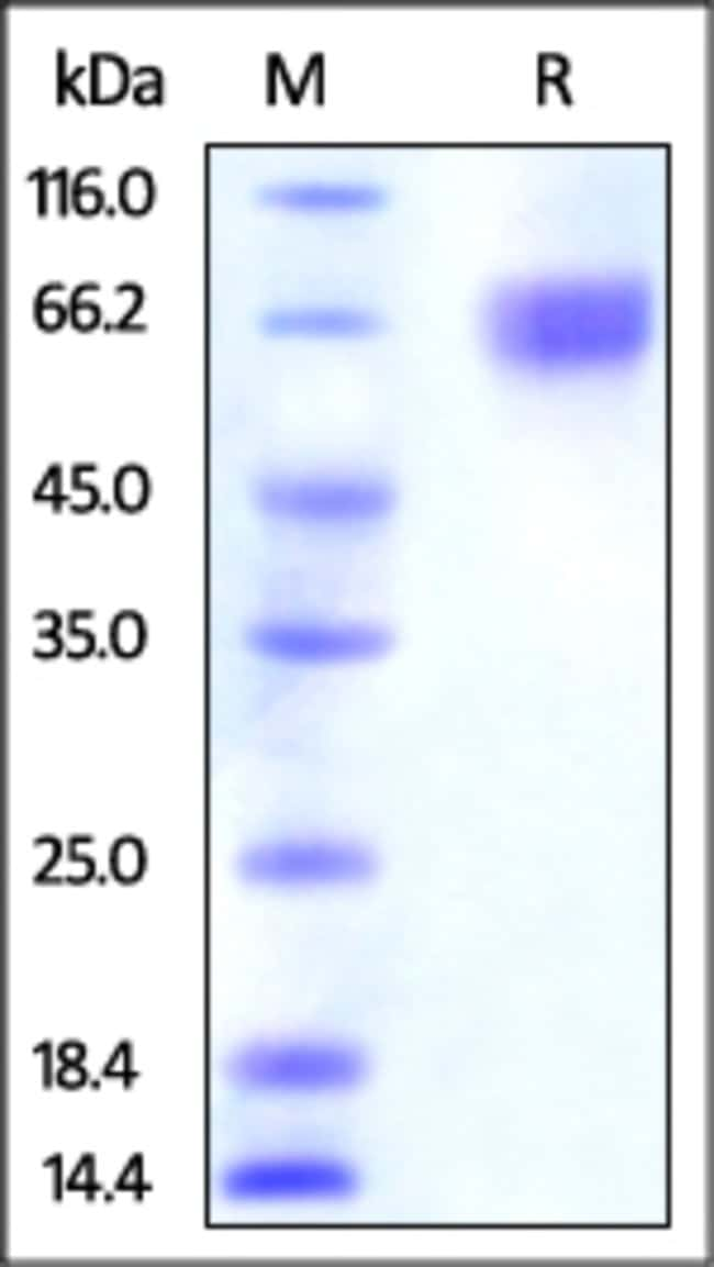 ACROBiosystemsHuman Nectin-3 / CD113 Protein, His Tag 100 ug ACROBiosystemsHuman Nectin-3 / CD113 Protein, His Tag