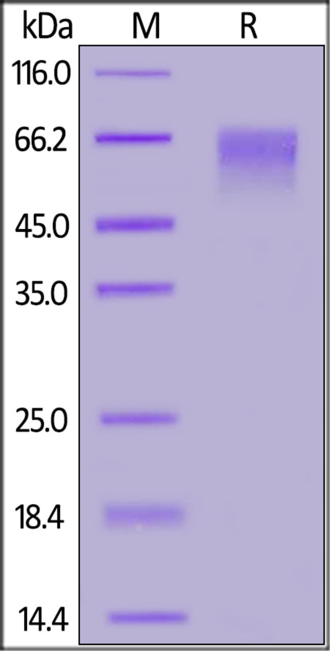 ACROBiosystemsCynomolgus Siglec-9 Protein, His Tag 100 ug ACROBiosystemsCynomolgus Siglec-9 Protein, His Tag
