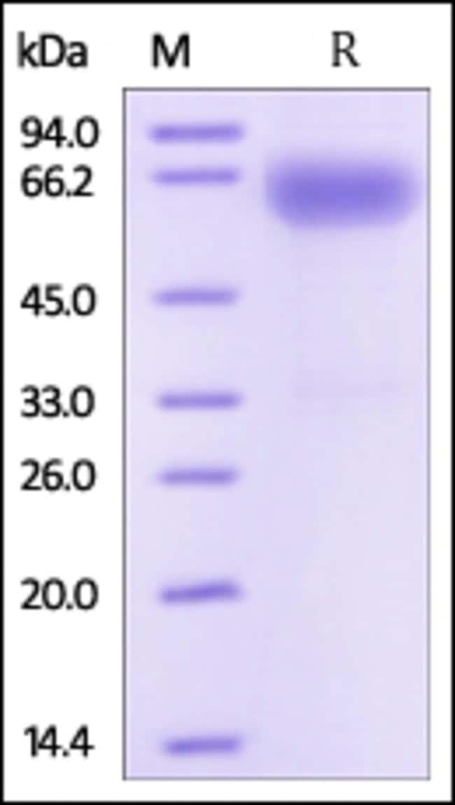 ACROBiosystemsHuman SLAMF7 / CRACC / CD319 Protein, Fc Tag 1 mg ACROBiosystemsHuman SLAMF7 / CRACC / CD319 Protein, Fc Tag