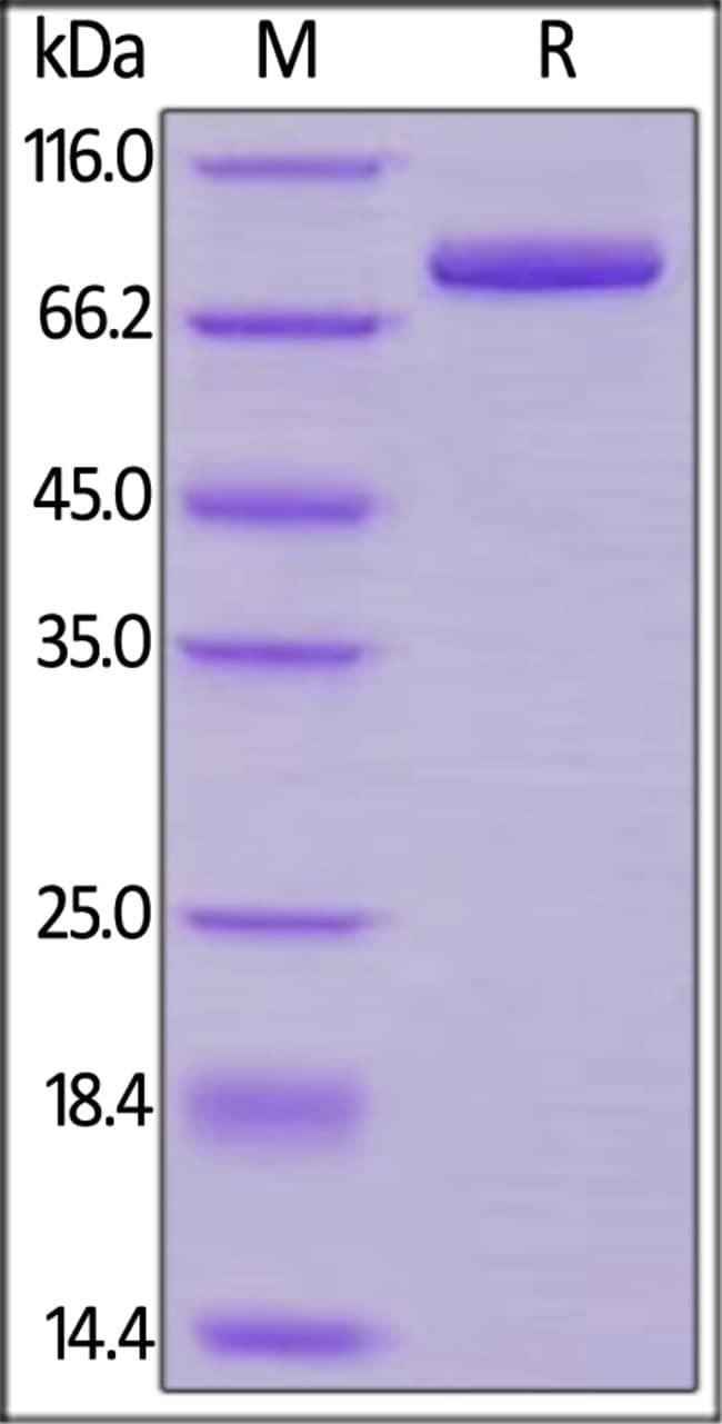 ACROBiosystemsCynomolgus Transferrin R / CD71 Protein, His Tag 100 ug ACROBiosystemsCynomolgus Transferrin R / CD71 Protein, His Tag