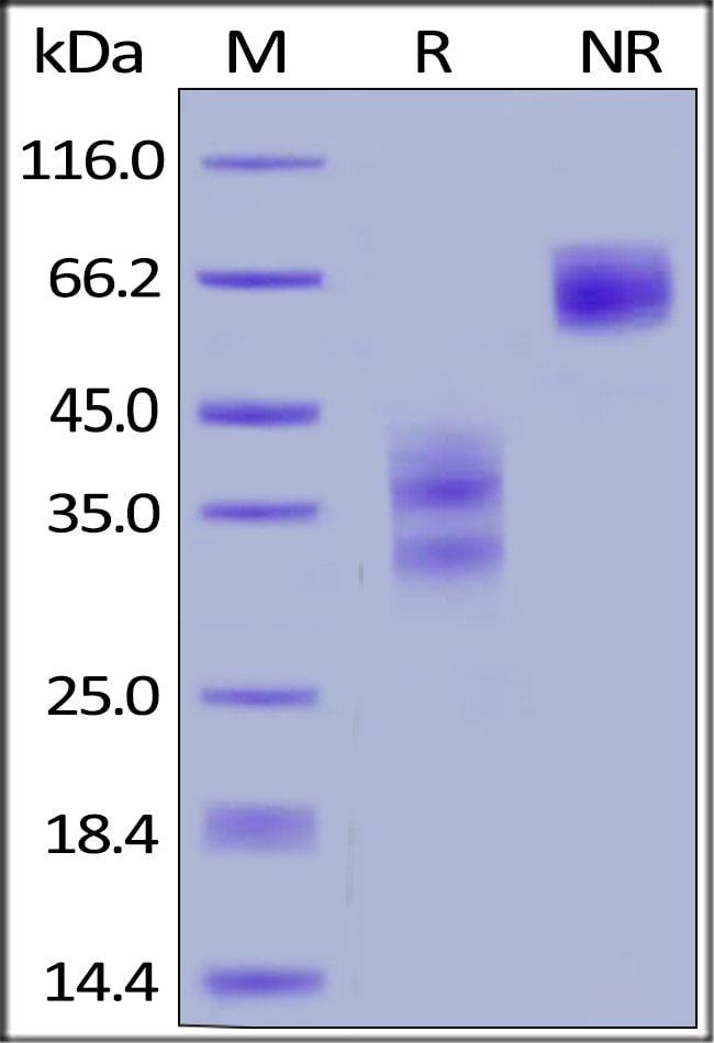 ACROBiosystems100UG Human TWEAK R / TNFRSF12 Protein, Fc Tag  Produkte