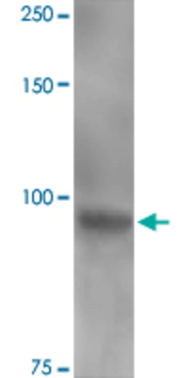 Clcn3, Mouse anti-Rat, ATTO390, Clone: S258-5, Abnova 100µg; ATTO390