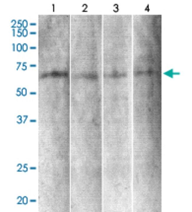 Syt6, Mouse anti-Mouse, A594, Clone: S270-47, Abnova 100µg; A594
