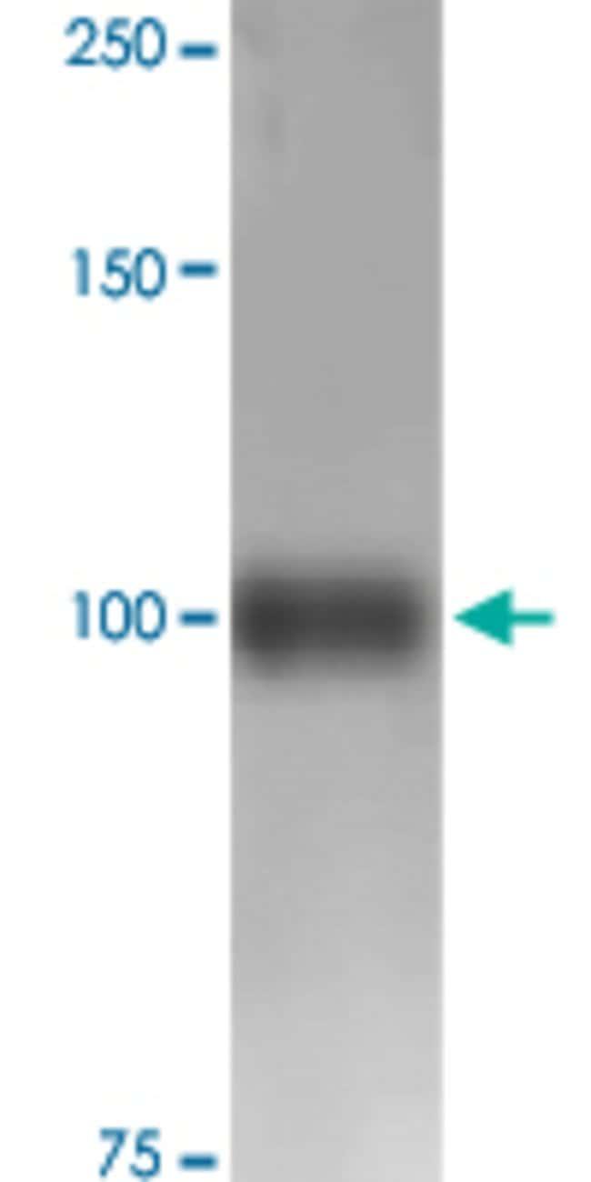 Fig4, Mouse anti-Mouse, ATTO633, Clone: S202-7, Abnova 100µg; ATTO633