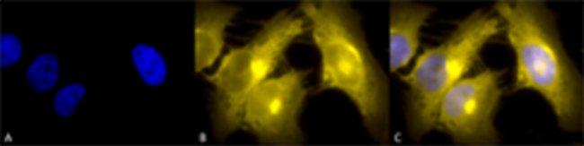 Tcp1, Rat anti-Mouse, PE/ATTO594, Clone: 23c, Abnova 100µg; PE/ATTO594