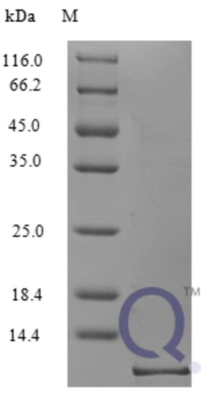 enQuireBio™Recombinant Human CCL3 / Mip1a Protein 20μg enQuireBio™Recombinant Human CCL3 / Mip1a Protein