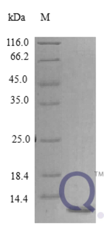 enQuireBio™Recombinant Human Epigen Protein 25μg enQuireBio™Recombinant Human Epigen Protein