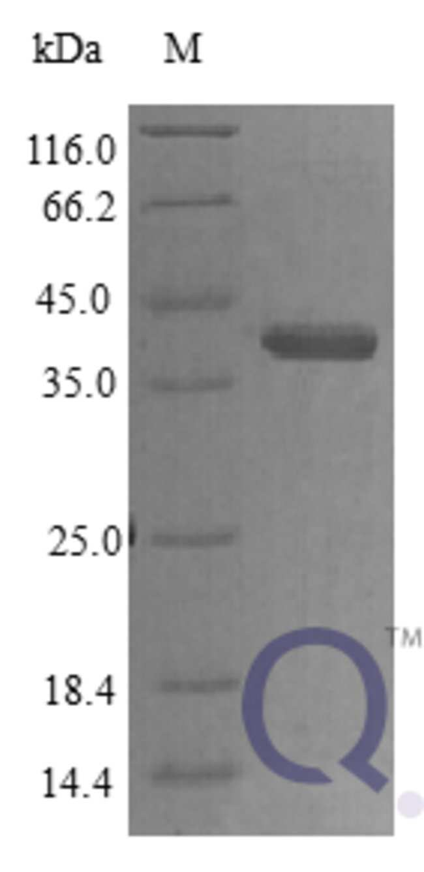 enQuireBio™Recombinant Human Protein CYR61 Protein 250μg enQuireBio™Recombinant Human Protein CYR61 Protein