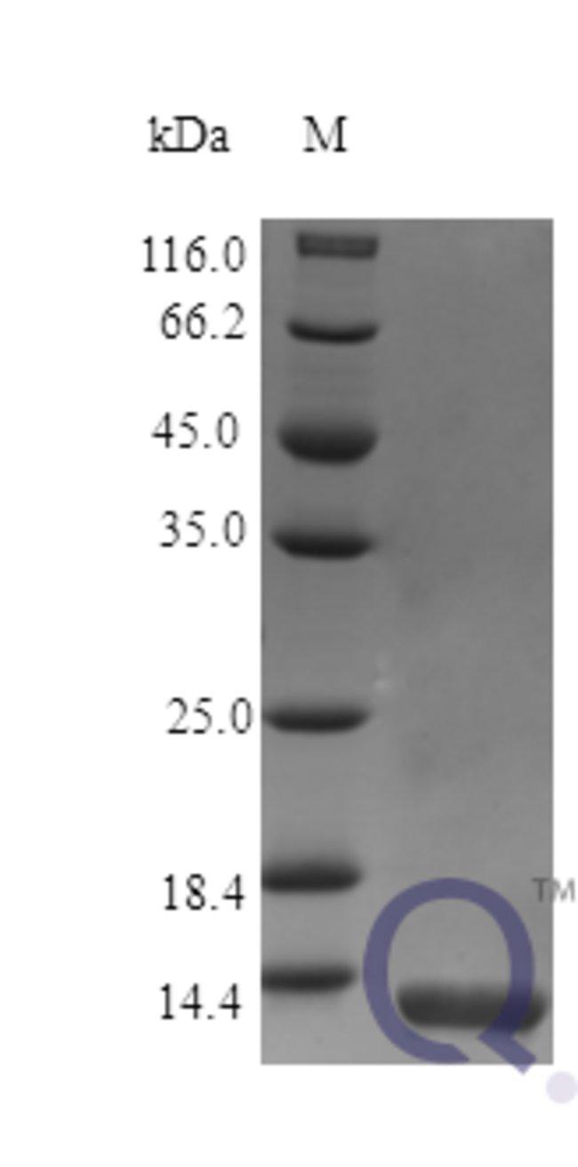 enQuireBio™Recombinant Mouse IL13 / ALRH Protein 100μg enQuireBio™Recombinant Mouse IL13 / ALRH Protein