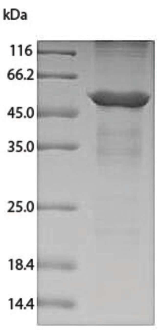 enQuireBio™Recombinant Dog Annexin A4 Protein 1mg enQuireBio™Recombinant Dog Annexin A4 Protein
