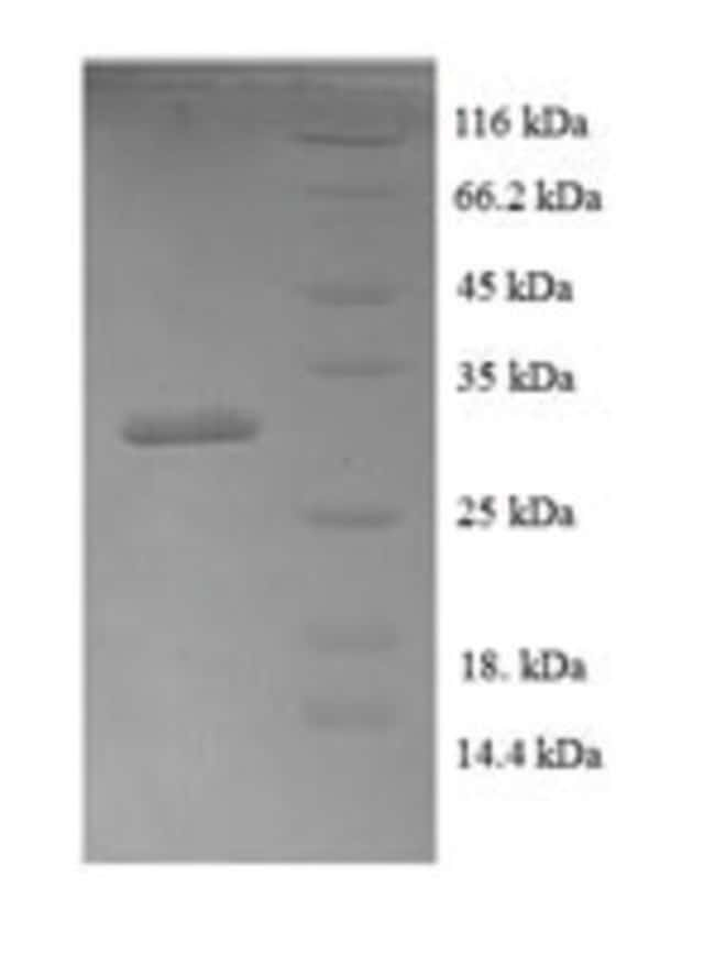 enQuireBio™Recombinant Human BMP4 / BMP-4 Protein 1mg enQuireBio™Recombinant Human BMP4 / BMP-4 Protein