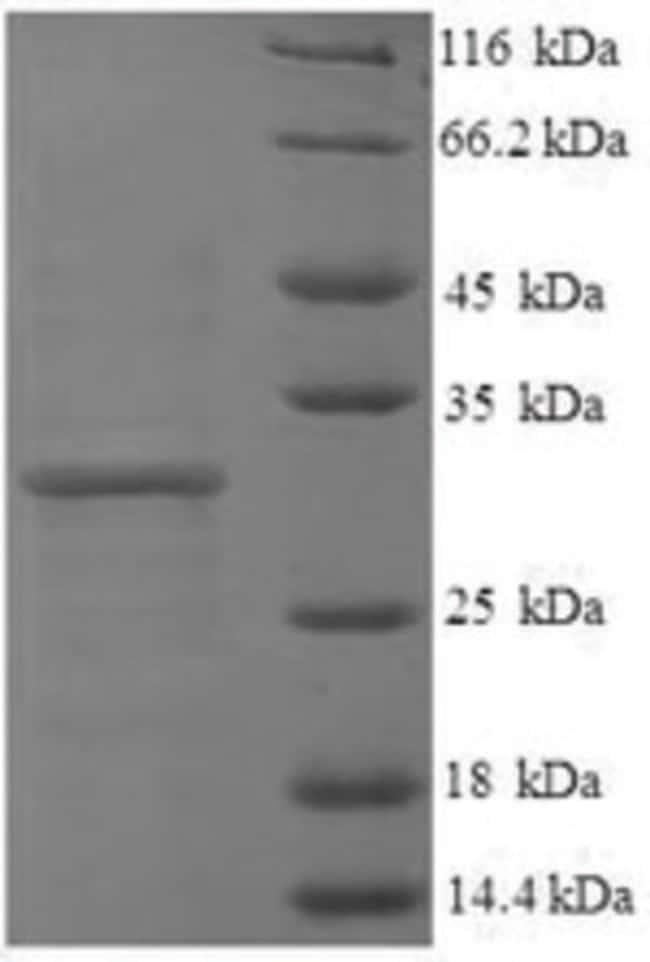 enQuireBio™Recombinant Human Histone H3.3 Protein 200μg enQuireBio™Recombinant Human Histone H3.3 Protein