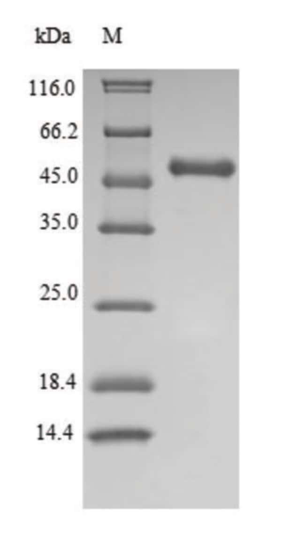 enQuireBio™Recombinant Human IDO1 / IDO Protein 200μg enQuireBio™Recombinant Human IDO1 / IDO Protein
