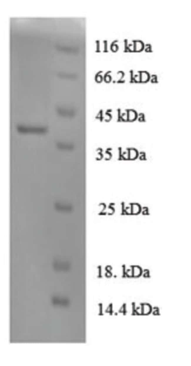 enQuireBio™ Recombinant Dog IL-8 / CXCL8 Protein 1mg enQuireBio™ Recombinant Dog IL-8 / CXCL8 Protein