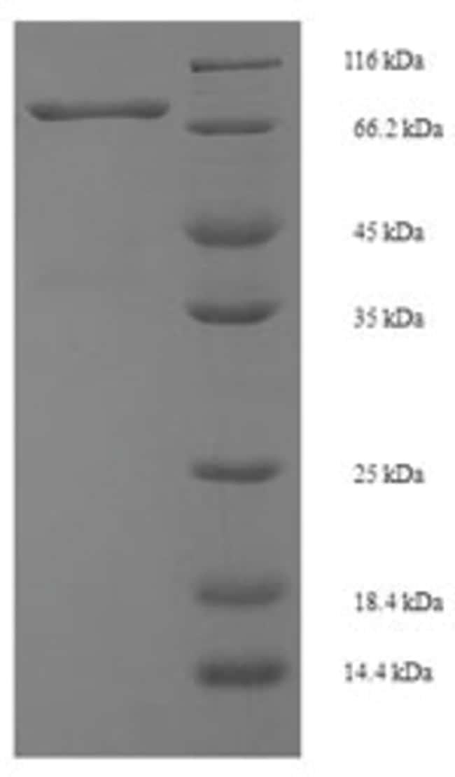 enQuireBio™Recombinant Mouse Spermine oxidase Protein 500μg enQuireBio™Recombinant Mouse Spermine oxidase Protein