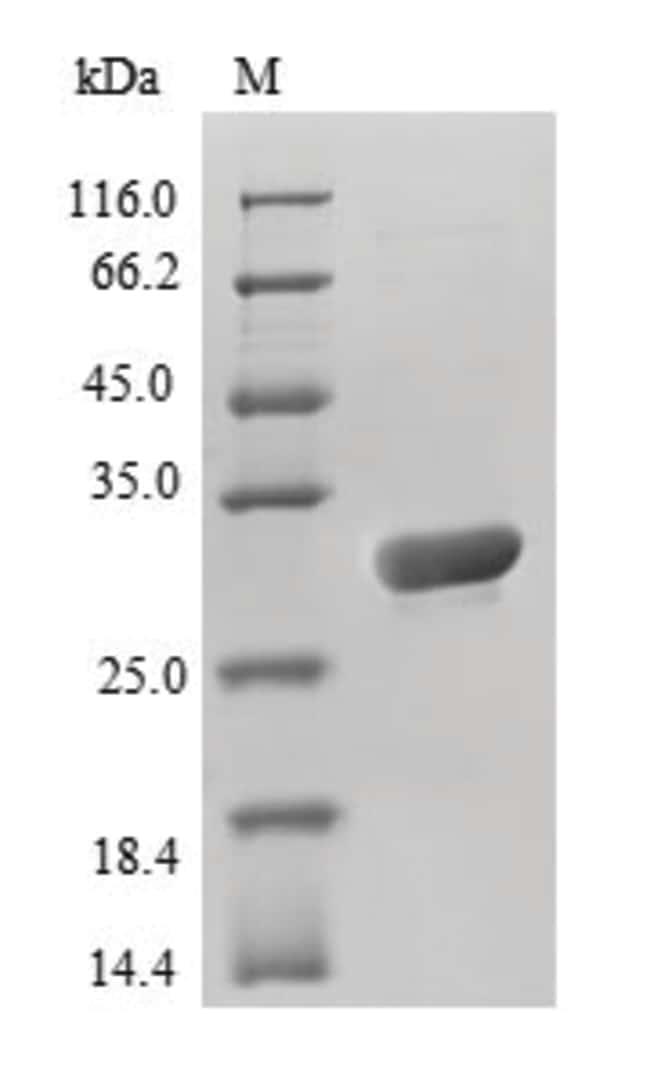 enQuireBio™Recombinant A. victoria Aequorea victoria GFP Protein 100μg enQuireBio™Recombinant A. victoria Aequorea victoria GFP Protein