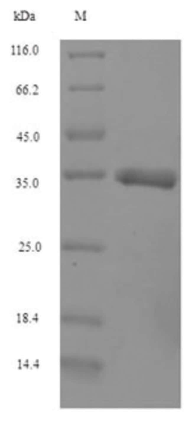 enQuireBio™ Recombinant Bovine Interferon alpha-G Protein 10μg enQuireBio™ Recombinant Bovine Interferon alpha-G Protein