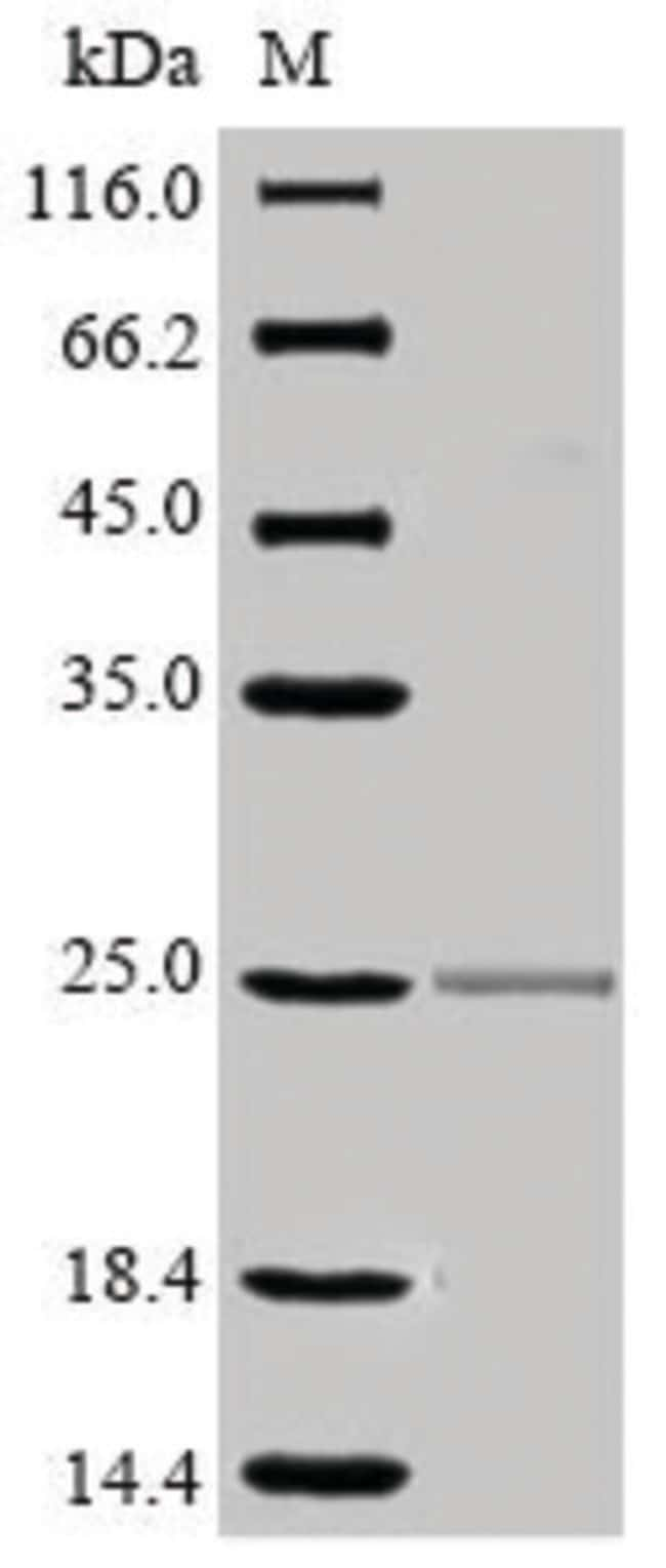 enQuireBio™Recombinant Mouse CD16 / FCGR3 Protein 100μg enQuireBio™Recombinant Mouse CD16 / FCGR3 Protein