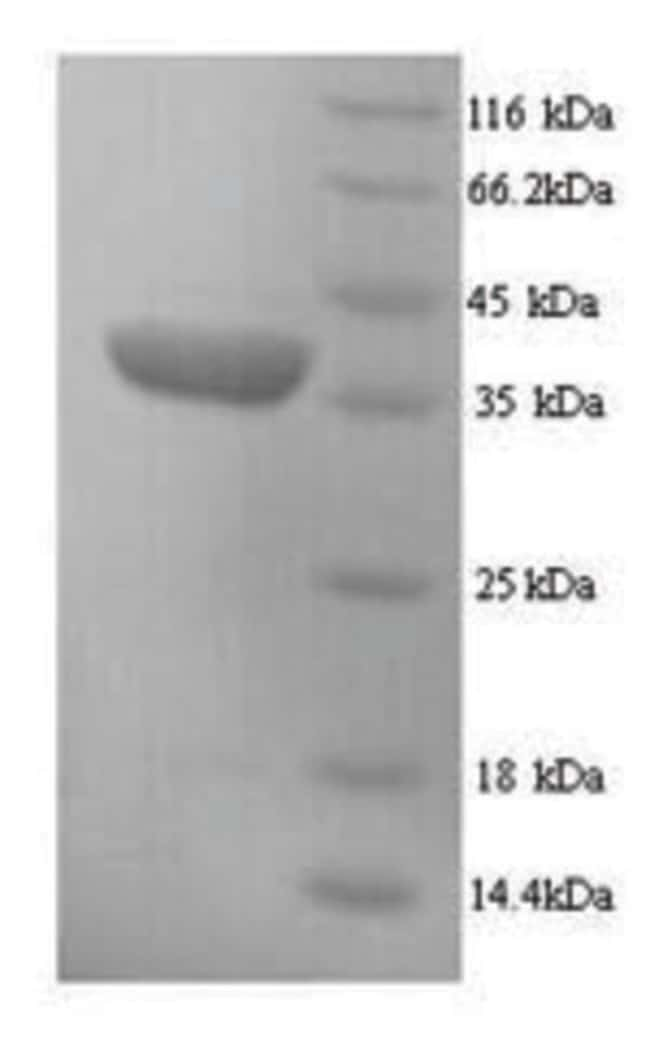 enQuireBio™ Recombinant Mouse H2-D1 Protein 100μg enQuireBio™ Recombinant Mouse H2-D1 Protein