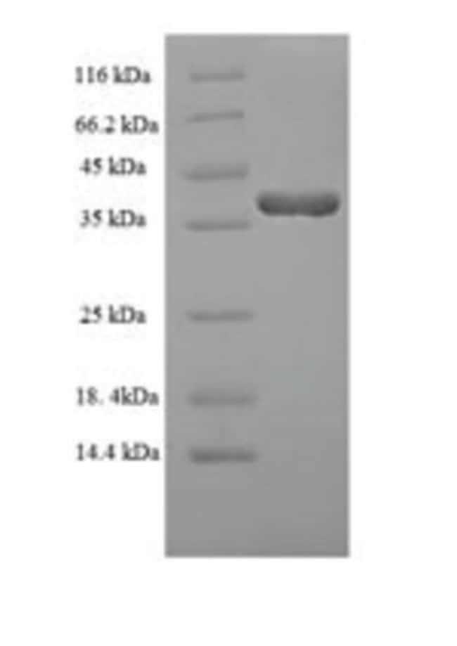 enQuireBio™Recombinant Human DUSP13, isoform A Protein 10μg enQuireBio™Recombinant Human DUSP13, isoform A Protein