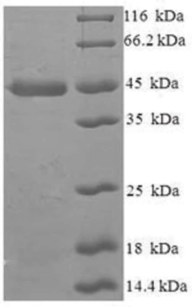 enQuireBio™Recombinant Human MAF1 Protein 100μg enQuireBio™Recombinant Human MAF1 Protein