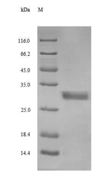 enQuireBio™Recombinant Human Glucagon Protein 10μg enQuireBio™Recombinant Human Glucagon Protein