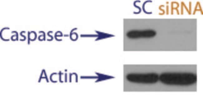 enQuireBio™TranslationBlocker Human Caspase-6 siRNA 10nmol enQuireBio™TranslationBlocker Human Caspase-6 siRNA