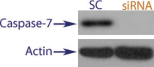 enQuireBio™TranslationBlocker Human Caspase-7 siRNA 2nmol enQuireBio™TranslationBlocker Human Caspase-7 siRNA