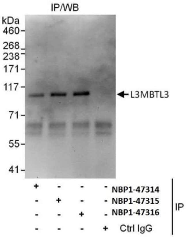 anti-L3MBTL3, Polyclonal, Novus Biologicals 0.1mg; Unlabeled:Life Sciences
