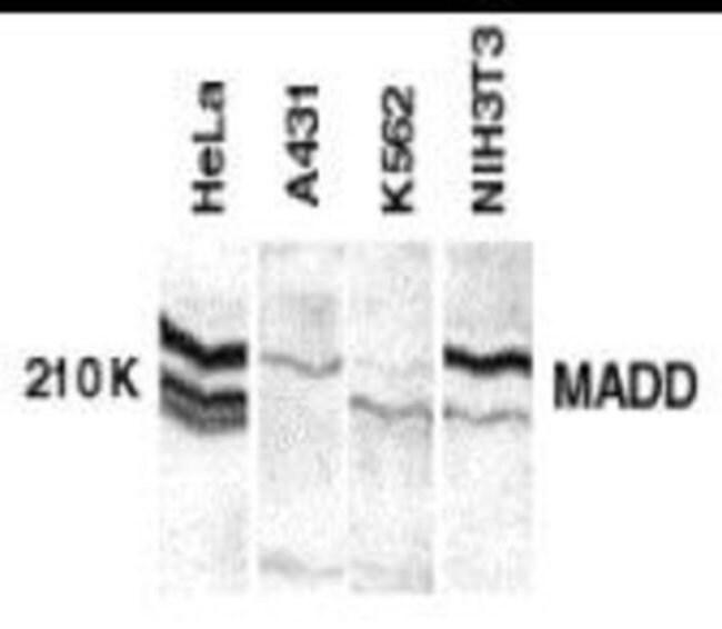 MADD Rabbit anti-Human, Mouse, Rat, Polyclonal, Novus Biologicals 0.025mg