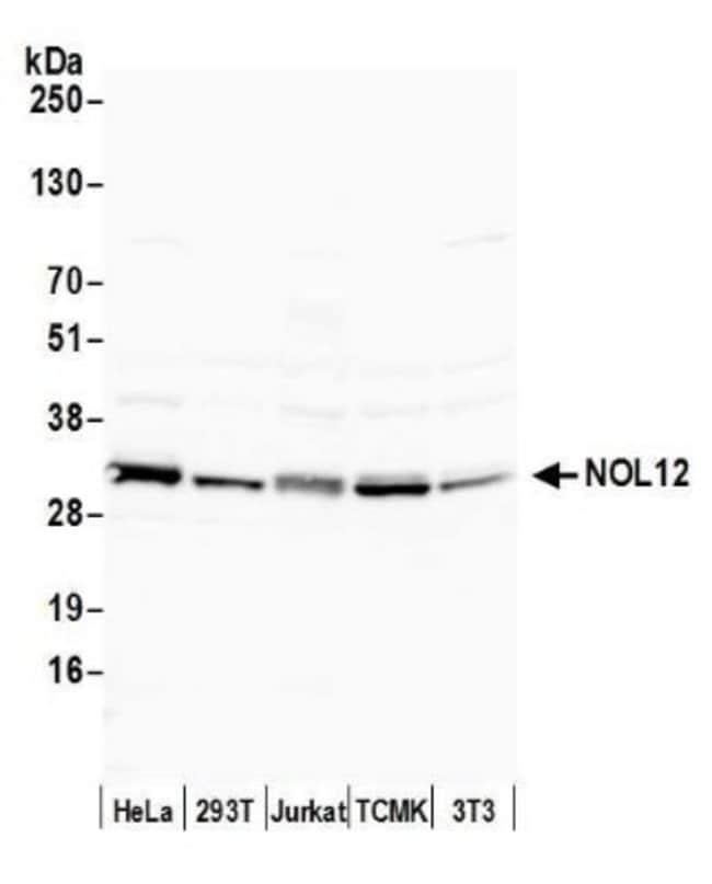 NOL12 Rabbit anti-Human, Mouse, Polyclonal, Novus Biologicals 0.1mg; Unlabeled:Life