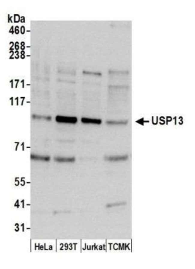 anti-USP13, Polyclonal, Novus Biologicals 0.1mg; Unlabeled:Life Sciences
