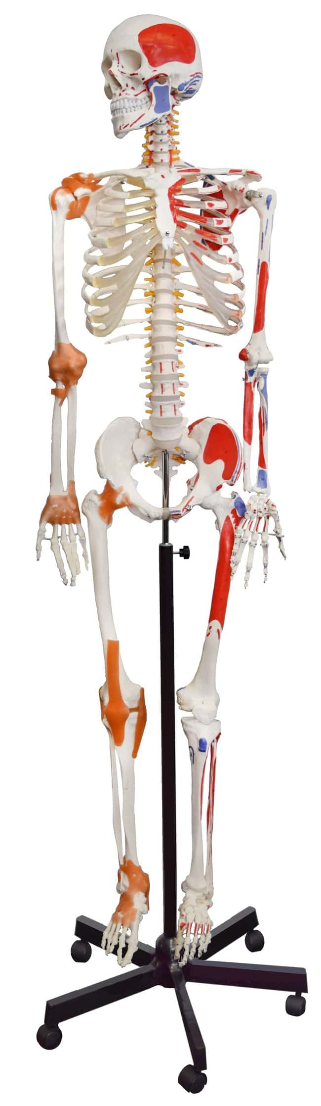 Eisco Human Muscular Skeleton  PVC Plastic:Teaching Supplies