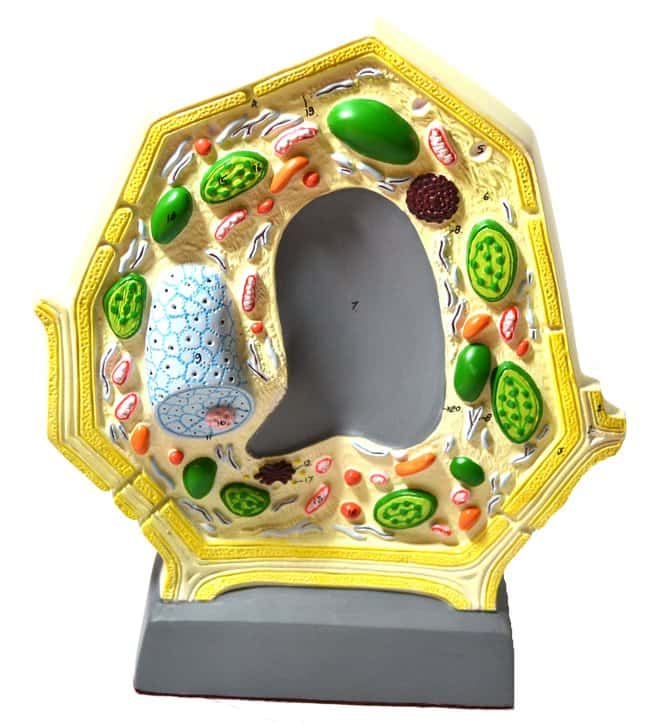 Eisco Plant Cell Model  Botany Model:Teaching Supplies