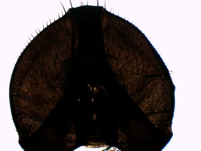 Eisco Musca Domestica Head, Whole Mount  Musca Domestica Head:Teaching