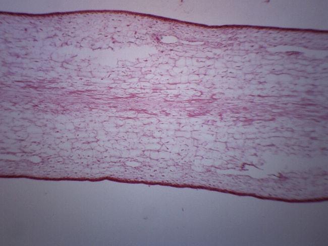 Eisco Protista Laminaria, Cross Section  Protista Laminaria:Teaching Supplies