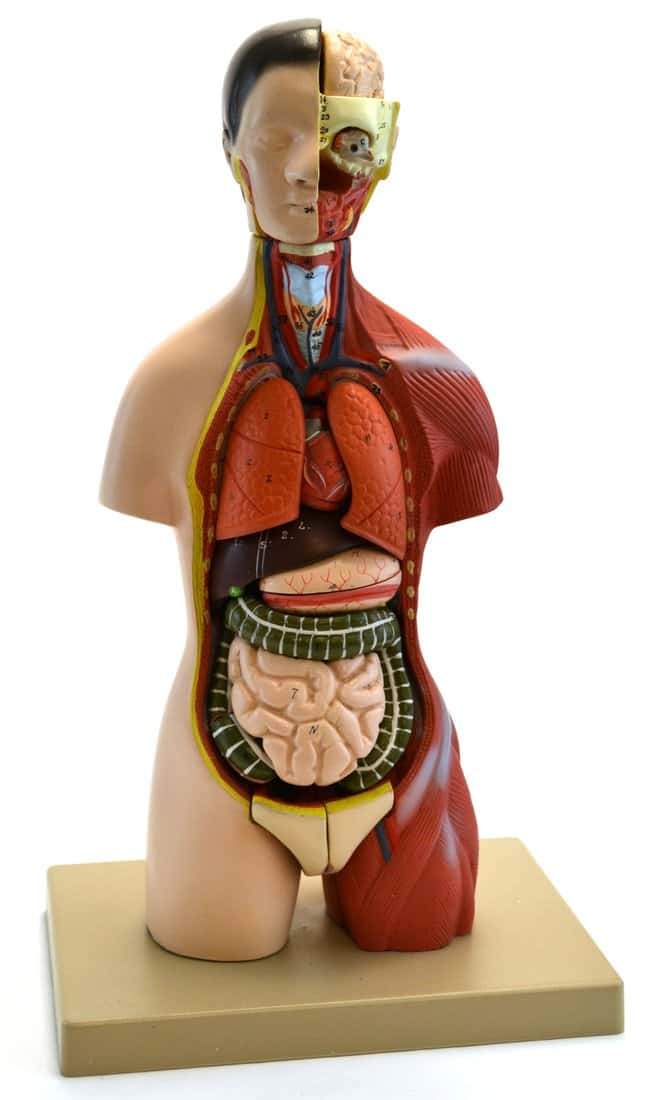 Eisco Half-Size Torso with Head Model, 16 Parts  Human half size torso