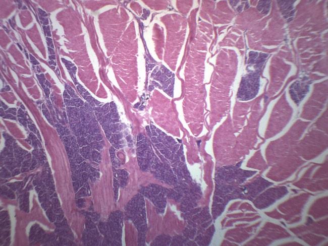 Eisco Foliate Papillae - Tounge  1 x 3 in (25 x 77 mm):Teaching Supplies