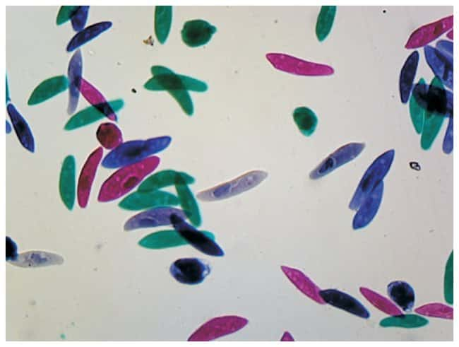 Paramecium Prepared Slide
