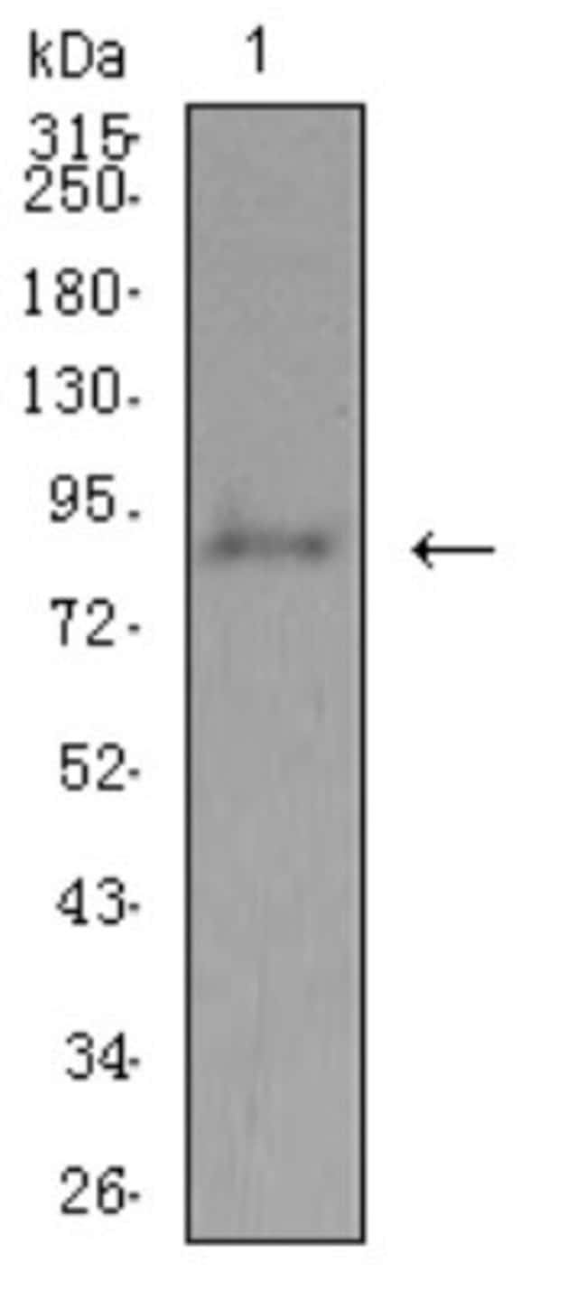 ADAMTS1 Mouse anti-Human, Clone: 1C12E6, Novus Biologicals 0.1 ml; Unconjugated