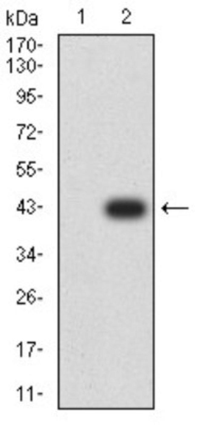 ADAMTS1 Mouse anti-Human, Clone: 1G5D5, Novus Biologicals 0.1 ml; Unconjugated