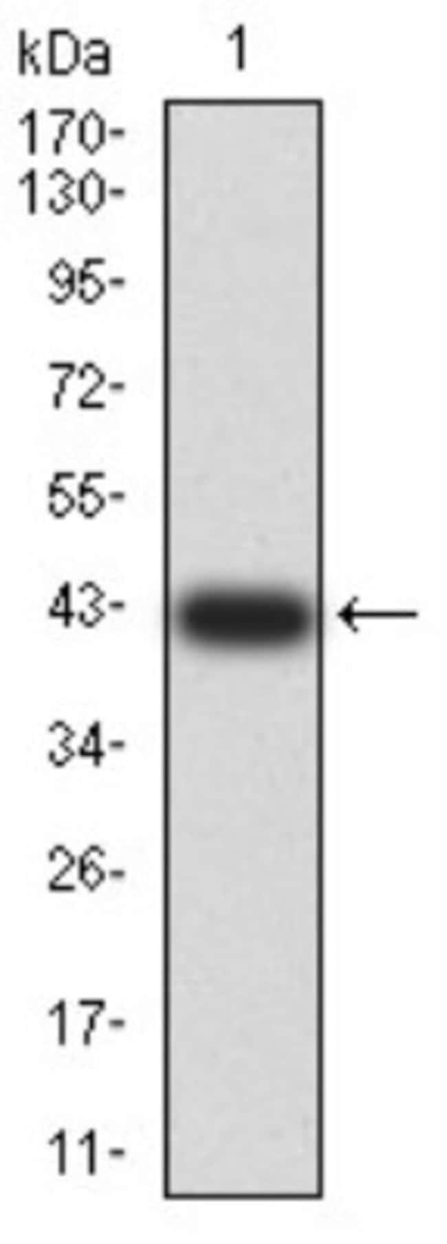 AEBP2 Mouse anti-Human, Clone: 3E3C10, Novus Biologicals 0.1 ml; Unconjugated