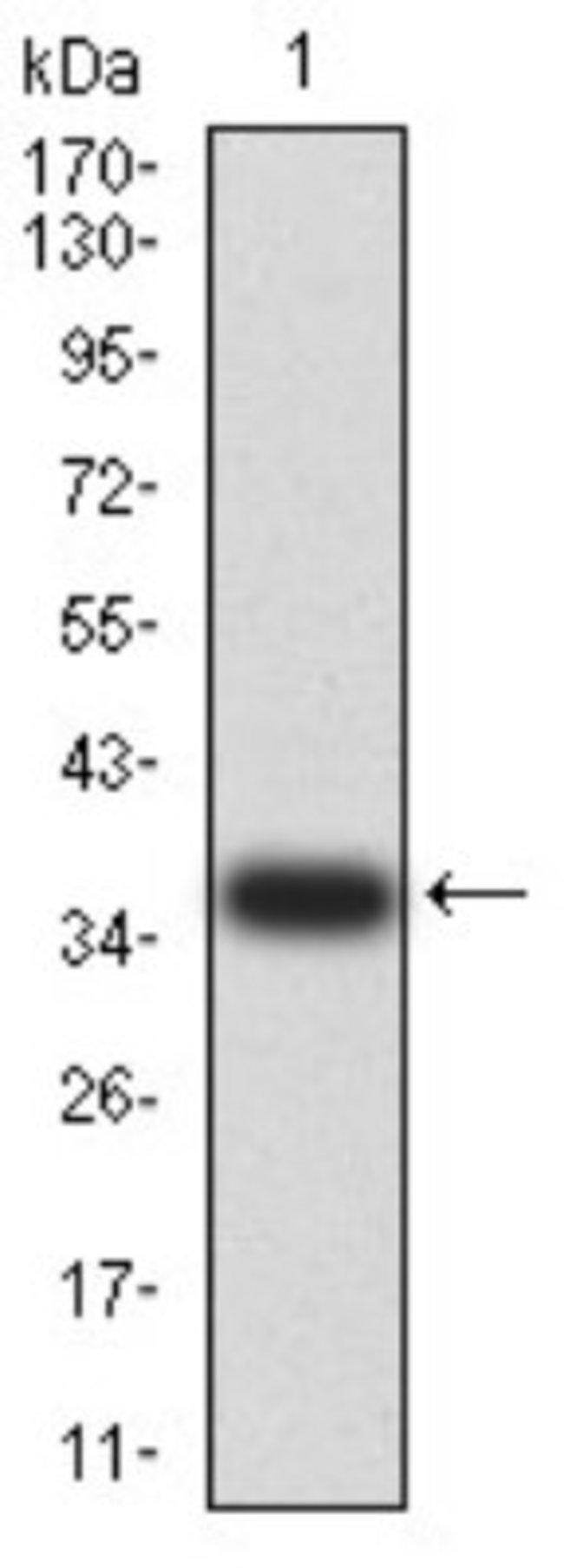 AMPK alpha 2 Mouse anti-Human, Monkey, Clone: 8E11H5, Novus Biologicals