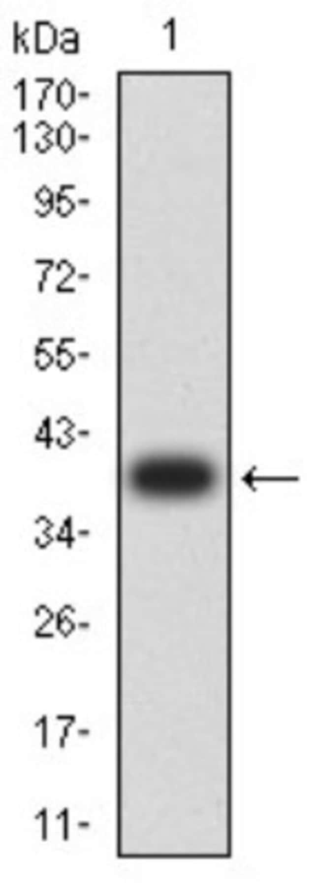 AP-2 beta/TFAP2B Mouse anti-Human, Clone: 6F7G1, Novus Biologicals 0.1