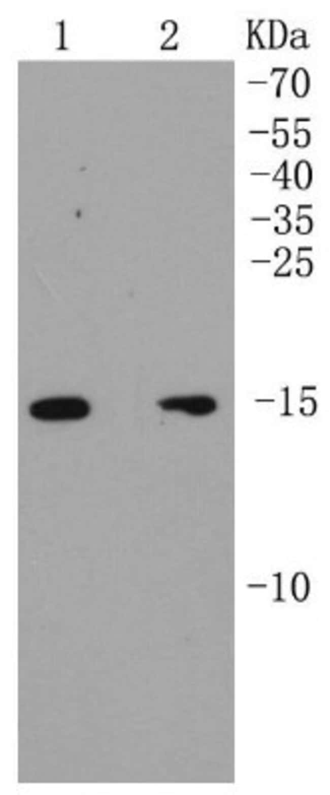 ARPC5 Rabbit anti-Human, Clone: SR34-02, Novus Biologicals 100μL