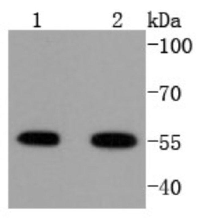 ATF4 Rabbit anti-Human, Clone: SD20-92, Novus Biologicals 100µL
