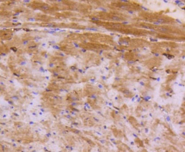 ATF5 Rabbit anti-Human, Clone: SD2099, Novus Biologicals 100μL