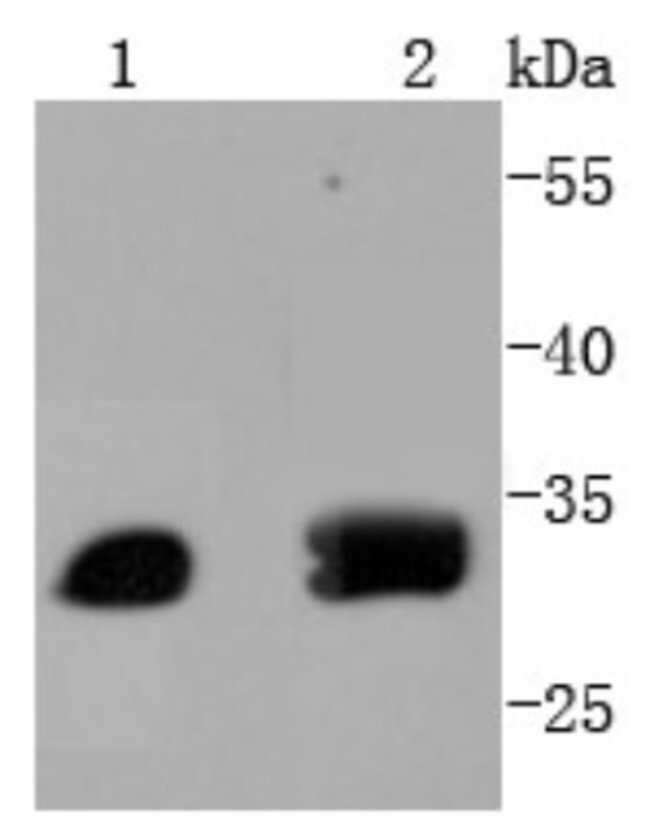 ATF5 Rabbit anti-Human, Clone: SD2099, Novus Biologicals 100µL