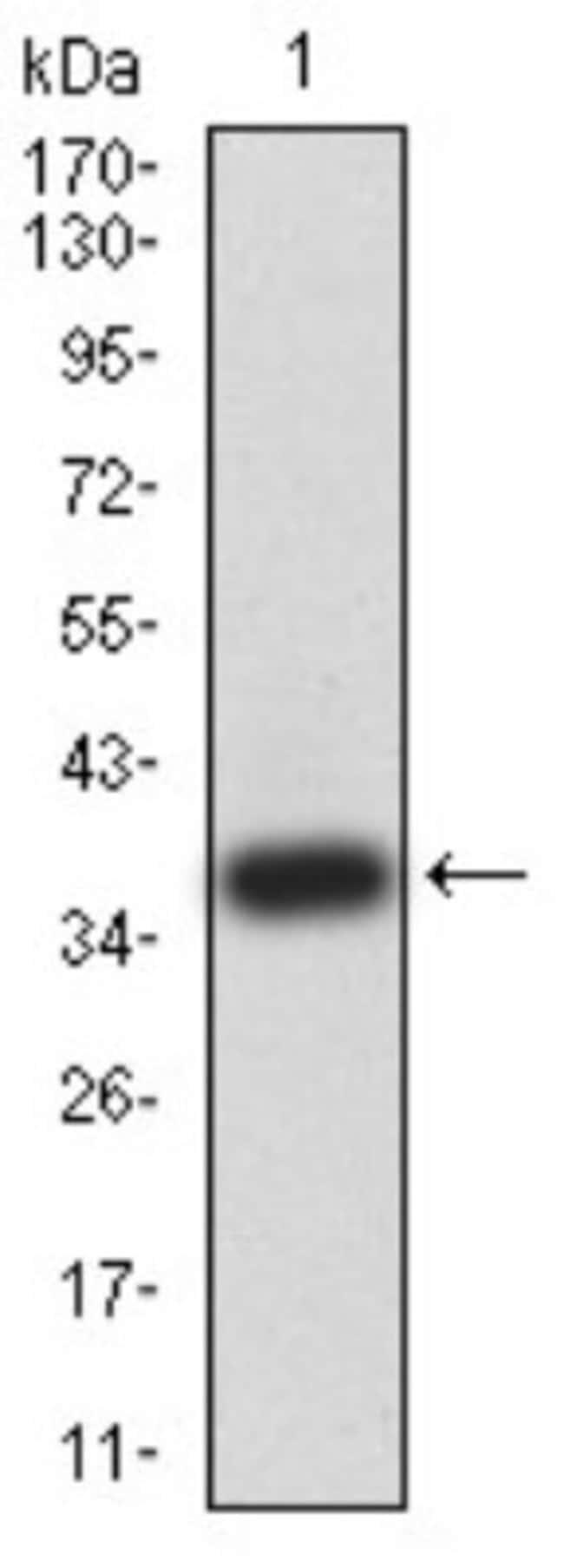 ATG2A Mouse anti-Human, Clone: 4E6D4, Novus Biologicals 0.1 ml; Unconjugated